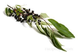 Chokecherry Glossary Term