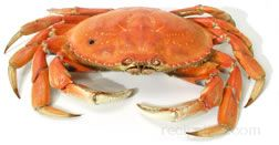 Dungeness Crab Glossary Term