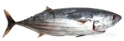 skipjack tuna Glossary Term