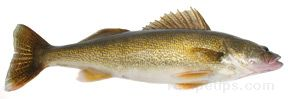 Walleye Pike Glossary Term