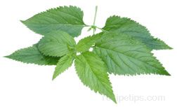 Stinging Nettle Glossary Term