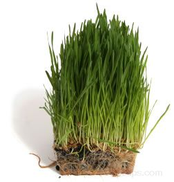 Wheatgrass Glossary Term